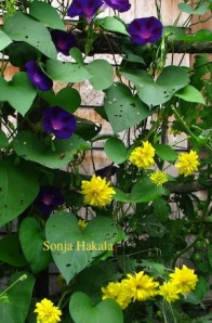 Golden glow and purple morning glories on the fence in front of the Carding Academy of Traditional Arts