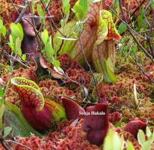 Pitcher plants and moss on a floating bog in Woodward Reservoir, Plymouth, Vermont