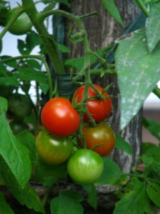 Ripening cherry tomatoes for web