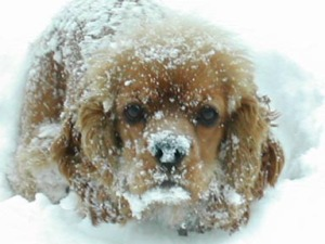 Goldie covered with snow for web