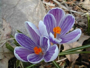 Crocuses for web