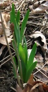 Daffodil pushing up