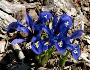 Iris reticulata for web