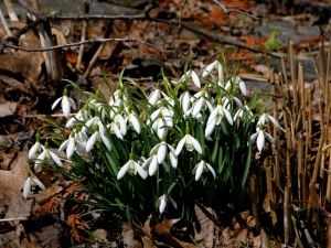 Snow drops open for web