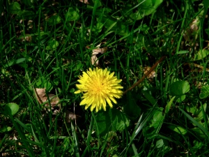 Dandelion for web
