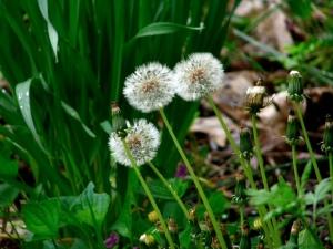 Dandelion in seed for web