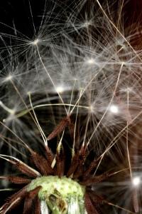Dandelion seed closeup for web