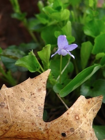 Tiny purple violet
