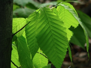 Beech leaves in spring