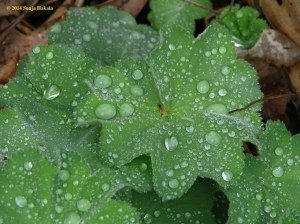 Ladies mantle in rain for web