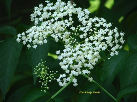 Elderberry blossom for web