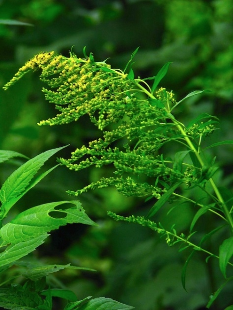 Goldenrod-July 2014 for web