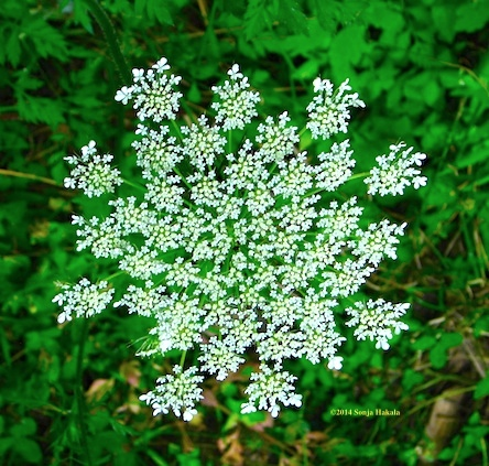 Queen Ann's Lace for web