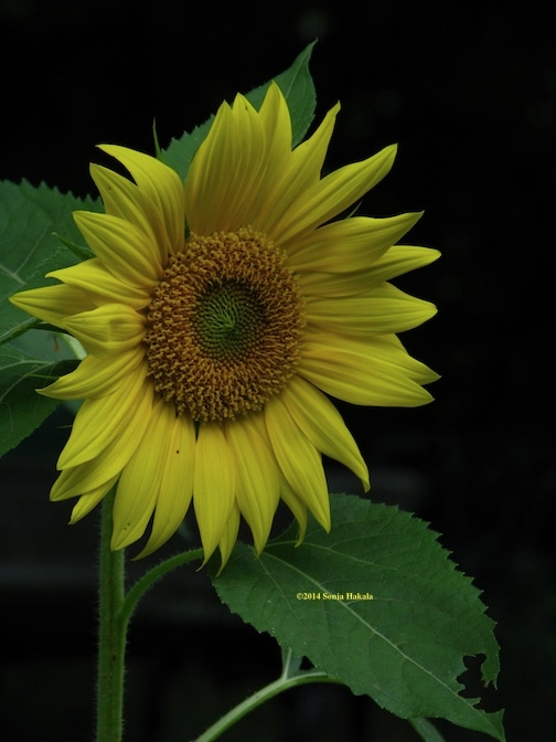 Sunflower in bloom for web