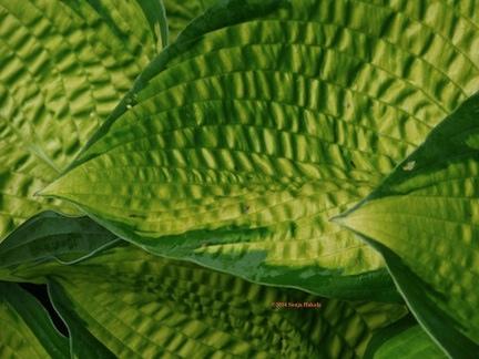 Hosta leaves for web