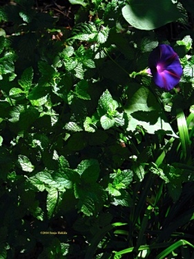 Mint and morning glory for web