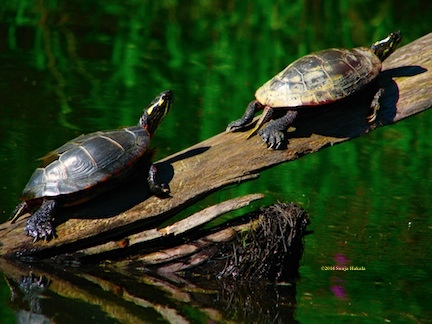 Two turtles in the sun for web