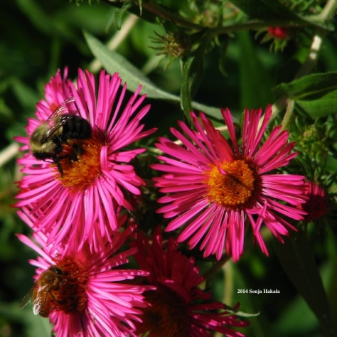 Honey bees on bright pink asters, October 2014