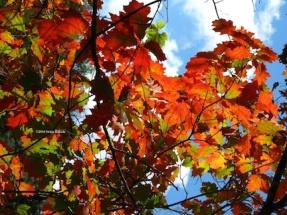 Red oak leaves in sun