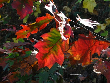 Red:green oak leaves in sun for web