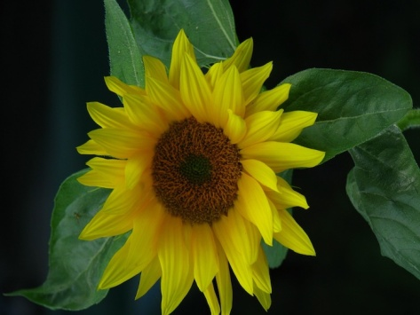 Sunflower 3 for web
