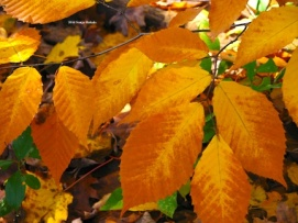 Yellow to brown beech leaves for web