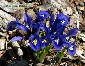 Iris reticulata for web