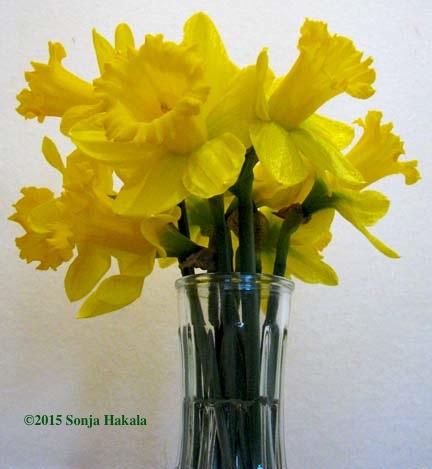 Daffodils in vase for web