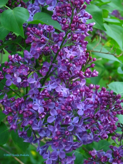 Lilac 2015 for web