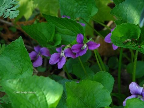 Purple violets 2015 for web