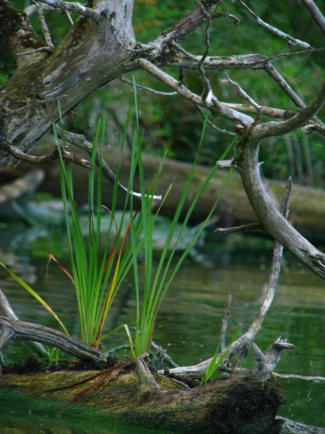 Cattails growing out of log, Shelburne Pond