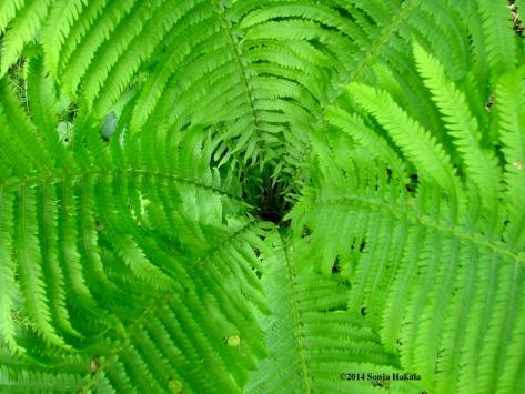 Fern swirl 2 for web