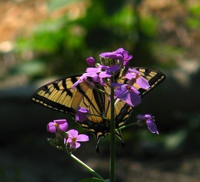 Swallowtail on dames rocket May 2012 for web