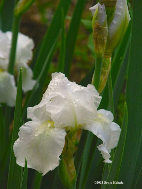 White iris, June 2, 2015 for web