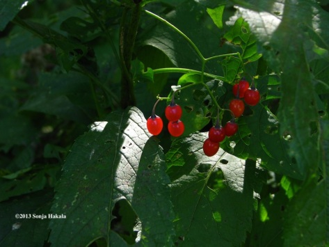 Deadly nightshade berries for web