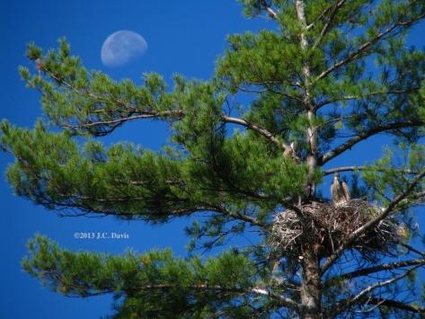 Heron chicks and half moon over Grafton Pond for web