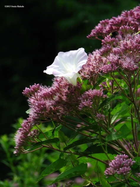 Joe Pye weed and bindweed for web