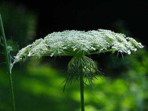 Queen Ann's Lace closeup for web