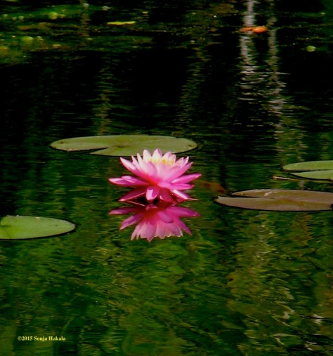 AT pink waterlily 2 82015 for web