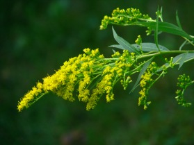 Goldenrod 10 for web