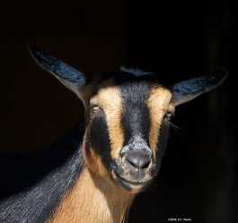 Goat-black and brown-Jay pic for web