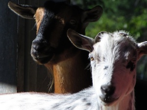 Two goats for web