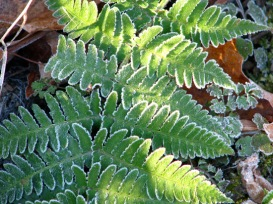 frosted-fern-for-web