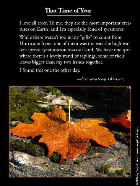 wq-sycamore-leaf