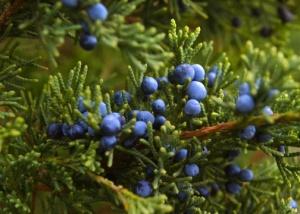 juniper-berries-for-web