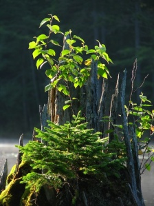 tiny-pine-tree-grafton-pond-for-web