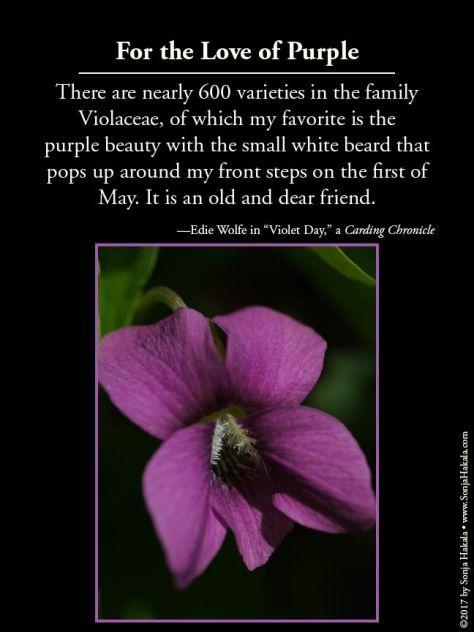 WQ-Purple violets