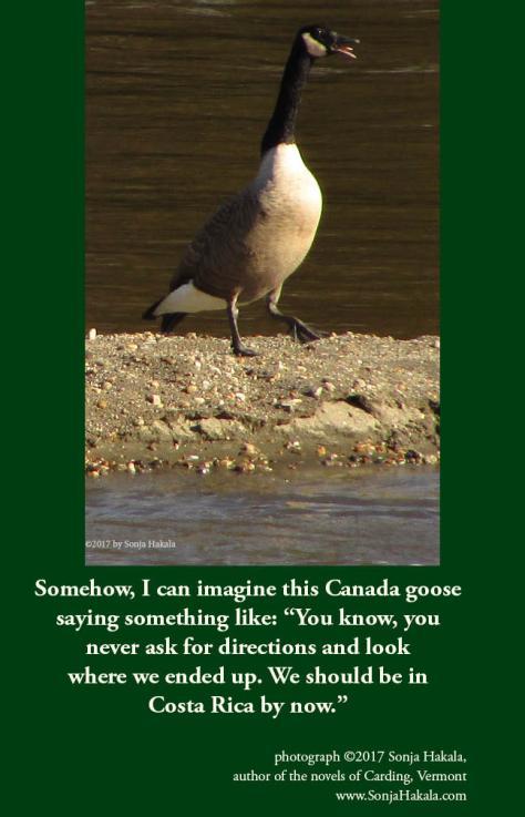 SH-Canada geese
