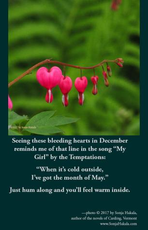 SH-bleeding hearts in winter
