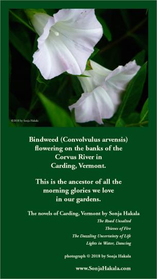 SH-bindweed flowers